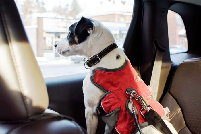 Use a Dog Seat Belt